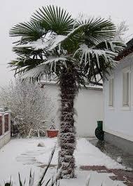 palme f r balkon palme überwintern palme einpacken palme 25 best