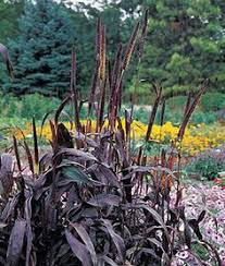 pennisetum glaucum ornamental millet jade princess isn t