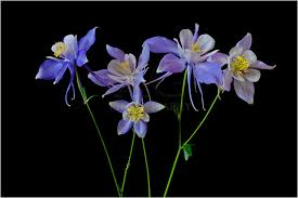 columbine flowers colorado columbine flowers for a photo shoot rob greebon