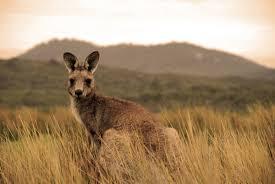 facts about koalas swain destinations travel blog