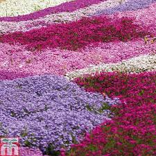 phlox flower phlox collection creeping plants thompson
