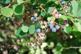 blueberries edible ornamentals bobpolomski