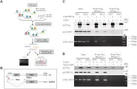 Anti Flag Affinity Gel Samhd1 Inhibits Line 1 Retrotransposition By Promoting Stress