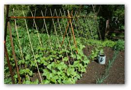 growing green beans in your home garden