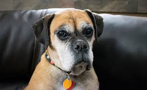 1 year old boxer dog 16 things boxer dog owners know metro news