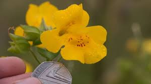 scientists discover a new flower of shetland bbc news