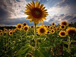 foto wallpaper bunga matahari bunga matahari wallpaper bunga alam alam wallpaper download gratis