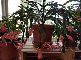 pin by lori sims on cactus thanksgiving cactus easter