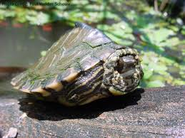 Ringed Map Turtle Graptemys Pearlensis Natural History Care And Photo