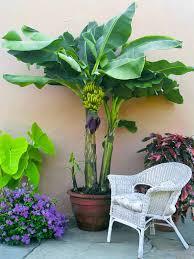 mini banana tree how to grow banana trees growing banana trees in pots