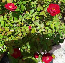Patio Tree Rose by Sparrow Tree Journal Sunday Night Miscellany