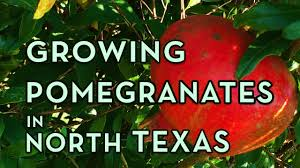 What Fruit Trees Grow In Texas - pomegranate tree growing in north texas u2013 facts you should know