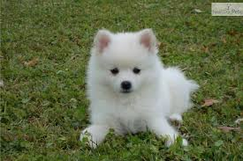 american eskimo dog price in india american eskimo puppies funny puppy u0026 dog pictures