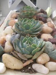 succulent plant indoor rock garden succulents succulents