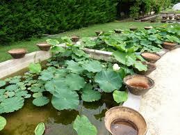a visit to latour marliac 3 3 i need to grow more lotus a