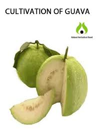 guava by kisan forum pvt ltd issuu