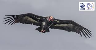Seeking Vulture Step Change In International Efforts To Conserve Vultures Takes