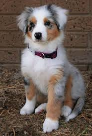 australian shepherd overprotective adorable smile you will pinterest posts dogs and