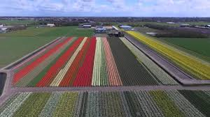 colorful tulip fields in the bollenstreek of the netherlands youtube