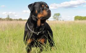 Wallpaper Dogs Rottweiler Wallpapers Pictures Images
