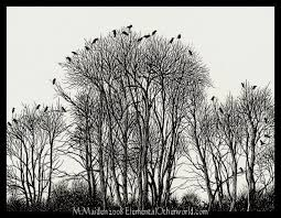 crows in birch trees by darkliminality on deviantart