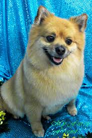 Dog Grooming Styles Haircuts Pet Grooming The Good The Bad U0026 The Furry Grooming Pomeranians