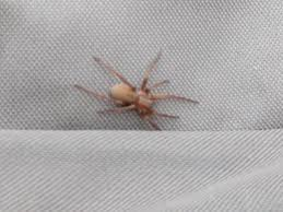 Brown Recluse Map Has A Brown Recluse Spider Been Seen In California