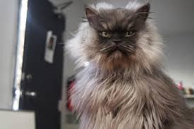 Colonel Meow Memes - in memoriam colonel meow