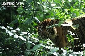 tiger photo panthera tigris g4089 arkive