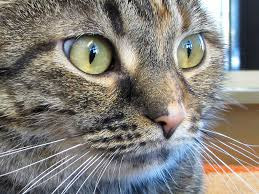 preventing and treating fleas in cats the good the bad and the ugly