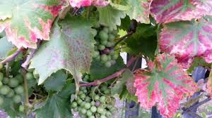 how to grow grape vines grapes growing on a fence bigadvice