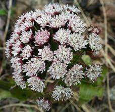 Identify Flowers - 152 best mn native plants images on pinterest native plants