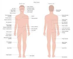 Human Anatomy Male 100 Male Human Anatomy Abdomen Anatomy 3d App Images Learn