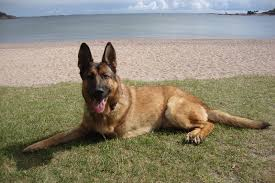 belgian shepherd special forces the heroic story of lucca the military dog