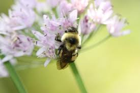 new england native plants uvm research helps make a case for listing native bumble bee as