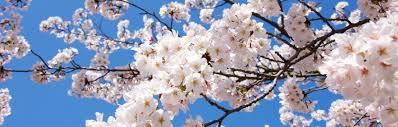 cherry blossom pics cherry blossom in fukuoka 2018 kyuhoshi