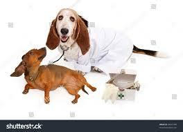 basset hound dog wearing white lab stock photo 64931449 shutterstock