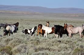white mustang horse programs wild horse and burro herd management herd management