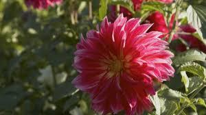 top summer flowering bulbs