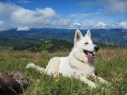 australian shepherd wolf mix my girlfriend u0027s dog hates thunderstorms aww