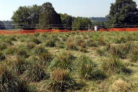 native plants of kentucky performance of endophyte infected tall fescue in europe and north