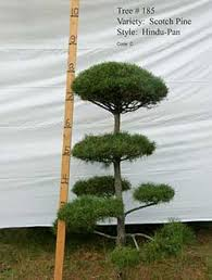 Real Topiary Trees For Sale - live topiary trees real scotch pine and white pine topiary trees