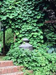 green vines best climbing plant for shade the best climbing