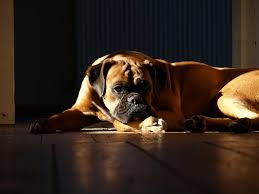 Do English Bullmastiffs Shed by An Encyclopedic Study About Boxer Dog Boxer Dog Info And Health Tips