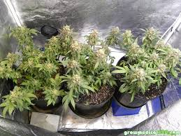 growing autoflower with led lights dun nosorry 2017
