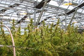 it u0027s cheaper to grow cannabis in greenhouses than indoors so why