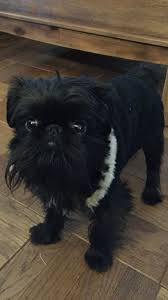 affenpinscher skin problems 78 best adorable affenpinchers images on pinterest brussels