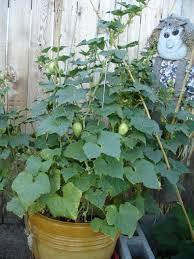 lisa u0027s garden adventure lemon cucumbers and tomatoes and the big