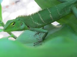 green color file chameleon in green color adaptation 01 jpg wikimedia commons