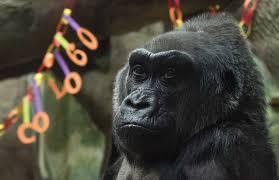 Gorilla by In Remembrance Colo The Gorilla
